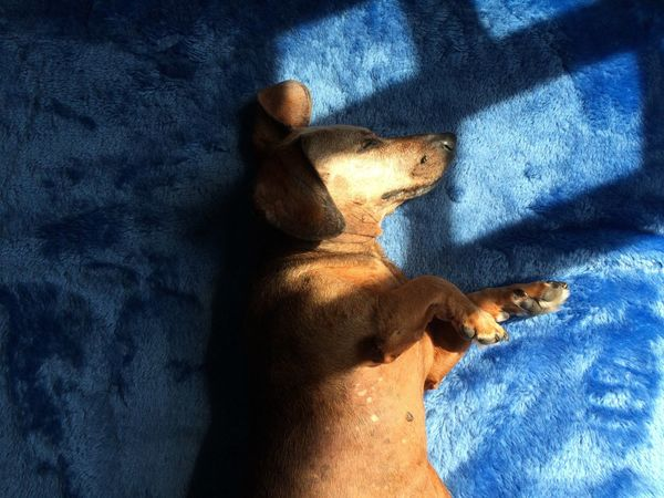 Shadows & Lights Four Legs And A Tail Sleeping Dog Senior Dog Dog Photography Cute Adorable Dachshund Dog Portrait Aging 14 Years Old Sausagedog Dogslife Age Of Wisdom Dogs Of EyeEm Dog Love Inconditional Love  Shadow Blue Mammal Sunlight High Angle View Pets Indoors