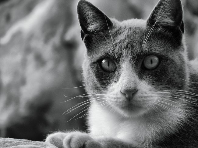 George II. Cat Lovers Cat Cats Of EyeEm Catoftheday Grey And White Cat Photography Catportrait Pets Handsome Boy Offset George The Cat Robin Fifield - Cats.