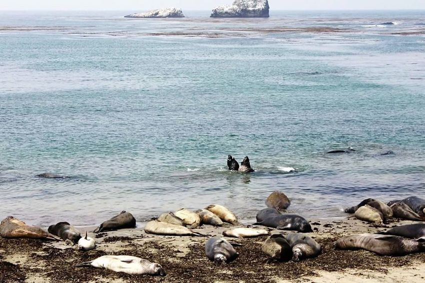 Sea Nature Water Beach Elephant Seals Elephant Seal Beach Beauty In Nature Leisure Activity Outdoors Day Sky Animal Themes Animals In The Wild