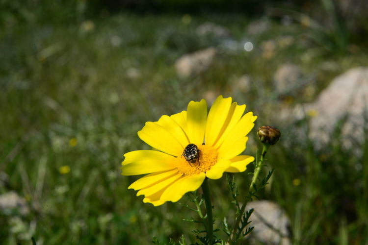 Animal Animal Themes Animal Wildlife Animals In The Wild Beauty In Nature Close-up Flower Flower Head Flowering Plant Focus On Foreground Fragility Freshness Growth Inflorescence Insect Invertebrate No People Outdoors Petal Plant Pollen Pollination Vulnerability  Yellow