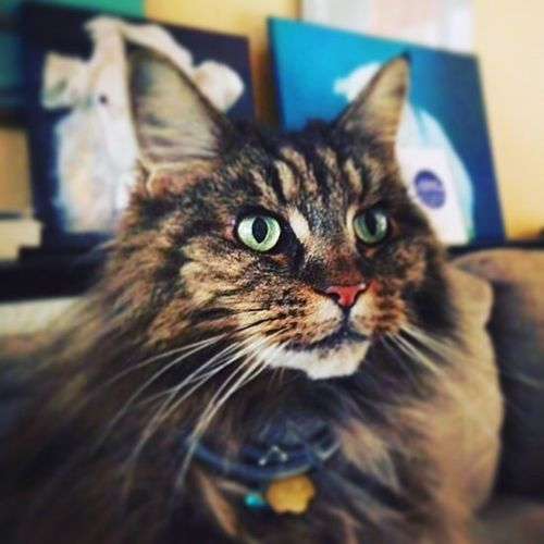 My Maine Coon cat Pet Portraits