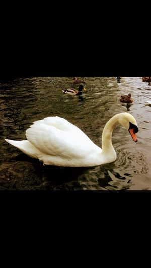 Bird Animal Themes Animals In The Wild Swan White Color Lake Full Length Swimming Beak Water Bird Nature Water No People Adult Animal Outdoors Beauty In Nature Close-up Day Reddish Vale