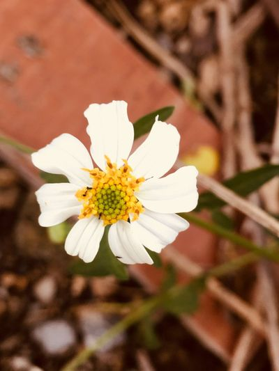 #white Flower Petal Fragility Flower Head Growth White Color Nature Freshness Beauty In Nature Blooming Pollen Blossom Close-up Plant Stamen No People Day Outdoors