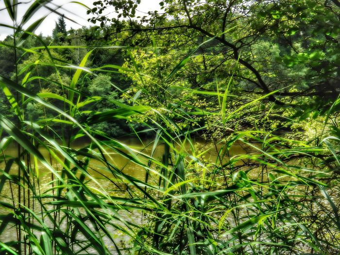 Looking Through The Reeds Green Pond Lakeside Green Shores Forest Lake Color Green Lake Scape Trees Hidden Places City Forest Of Frankfurt Nature Growth Day Outdoors No People Beauty In Nature Close-up Frankfurt Am Main Germany🇩🇪 Breathing Space EyeEm Selects