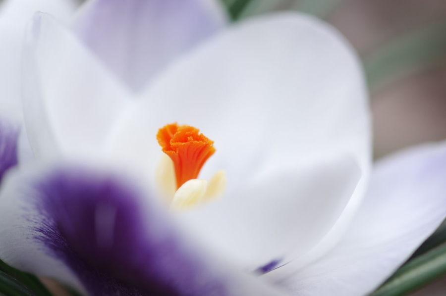 庭の寒咲きクロッカスのアップ。 クロッカス Crocus Flower Flowers Flower Collection Nature Nature_collection Nature Photography White Flower Purple