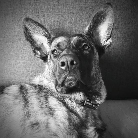 Indi B&W Sheperd Dutchshepherd Pets One Animal Domestic Animals Indoors  Animal Themes Mammal Dog Portrait