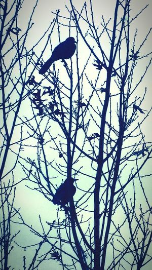 The black birds of winter...