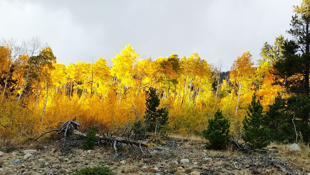 Check This Out Colorado Samsungphotography Samsung Galaxy S6 Edge Fall Leaves Fall Color Colorful Aspens
