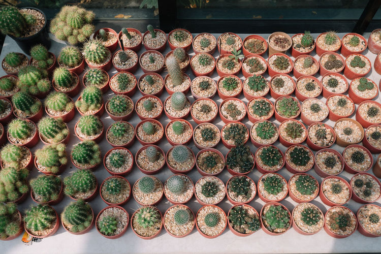 High Angle View of Cactuses Abundance Arrangement Cactus Cactus Garden Day Decoration Display Freshness Garden Greenery High Angle View Hobby Home Decoration  Home Decoration Day Green Large Group Of Objects Plant Showcasing