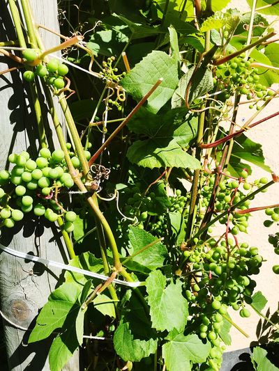 Garden Grape Plant Growth Plant Part Leaf Green Color Nature Sunlight Day No People Outdoors Fruit Healthy Eating High Angle View