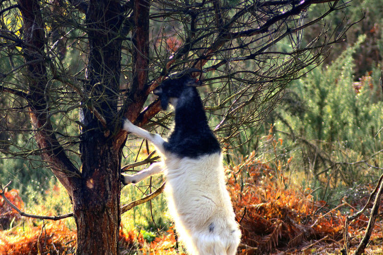 Confused Goat? Lightwater Country Park Animal Photography Climbing Trees Confused? Goat Grazing Tree