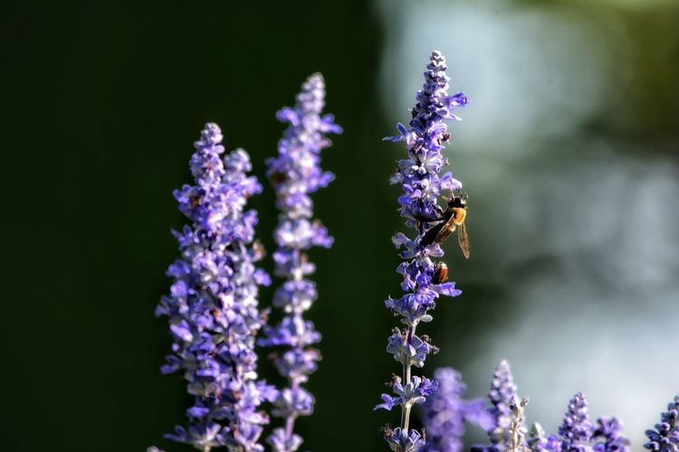 Flower Head Flower Purple Lavender Scented Lavender Colored Close-up Animal Themes Plant Bee In Bloom Pollen Honey Bee Symbiotic Relationship Plant Life Stamen
