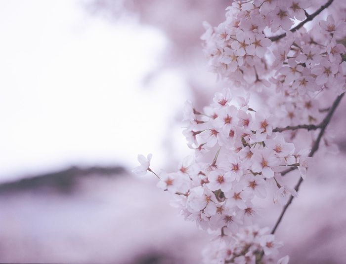 Fruit tree covered in blossom