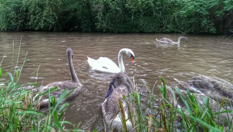 Swan Swan Nature Photography Baby Swan Signets