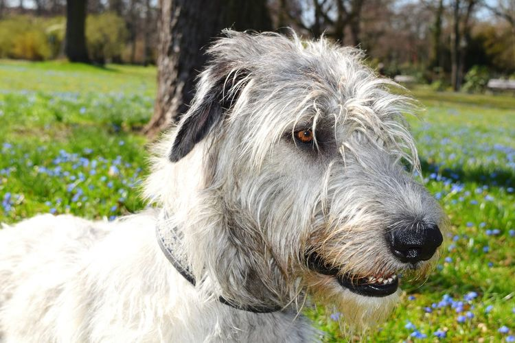 One Animal Animal Themes Outdoors Close-up Portrait Bokeh Spring 2017 March 2017 How Is The Weather Today? A Walk In The Park Cearnaigh Wildflower Springtime Irish Wolfhound Dogslife Dogs Of EyeEm Dog Of The Day Dogs Of Spring Dogwalk Dog Domestic Animals TreePorn