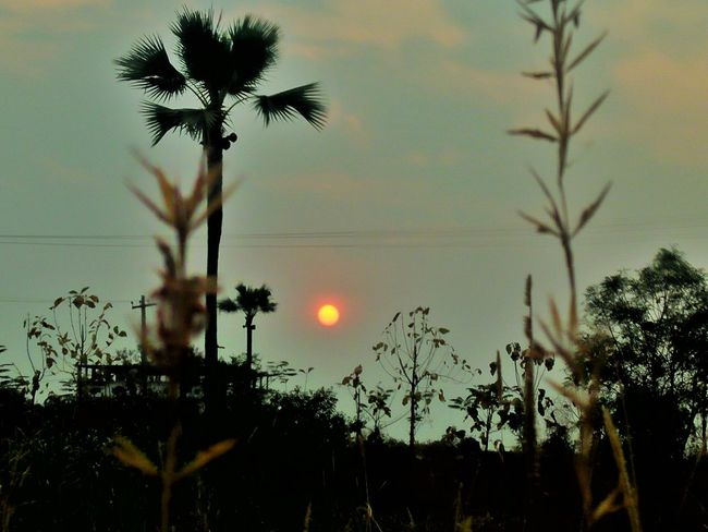 Today's sunset... Rural Scenes Palm Tree Silhouette Beauty In Nature Mobilephotography My Passion ❤ EyeEm Nature Lover EyeEm Selects Eyeemphotography EyeEm Gallery EyeEm Incredible India With Love From India💚 Truly..urs... Nitin 🌹