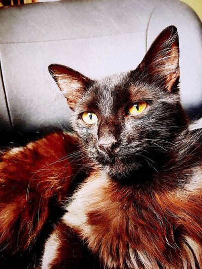 Cat Pets Domestic Animals One Animal Feline Indoors  Looking At Camera