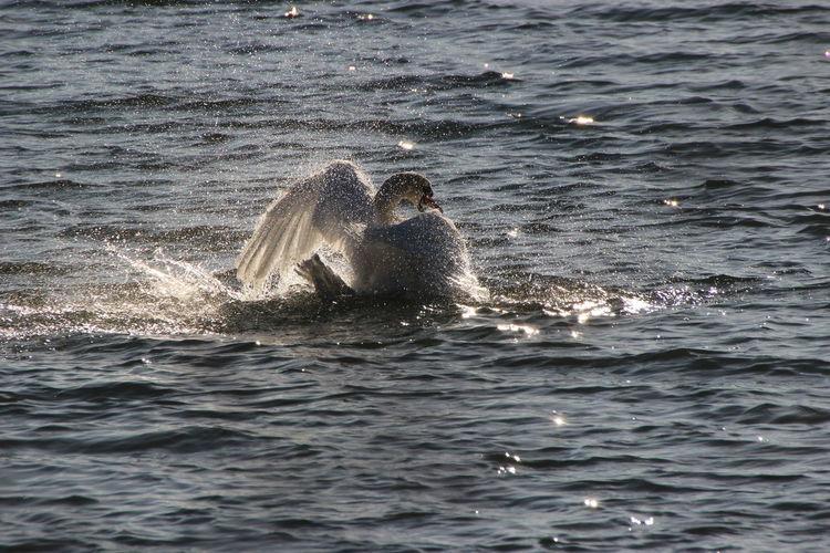 Badetag Bathtime Nature Reflection Swan Water Surface Wet Zoology