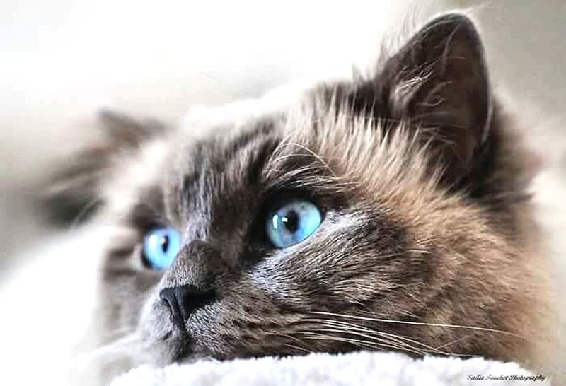 Domestic Cat One Animal Domestic Animals Blue Eyes Pets Animal Themes Portrait Day Animal Eye Feline Photography ♥ France🇫🇷 Huawei P9 Leica Huaweiphotography HuaweiP9 Leicaphotos Photo♡ Beauty Beautiful Animals  Cats 🐱 Catsofinstagram Cat♡ Sacredebirmanie Amourdechat Lovecats❤️