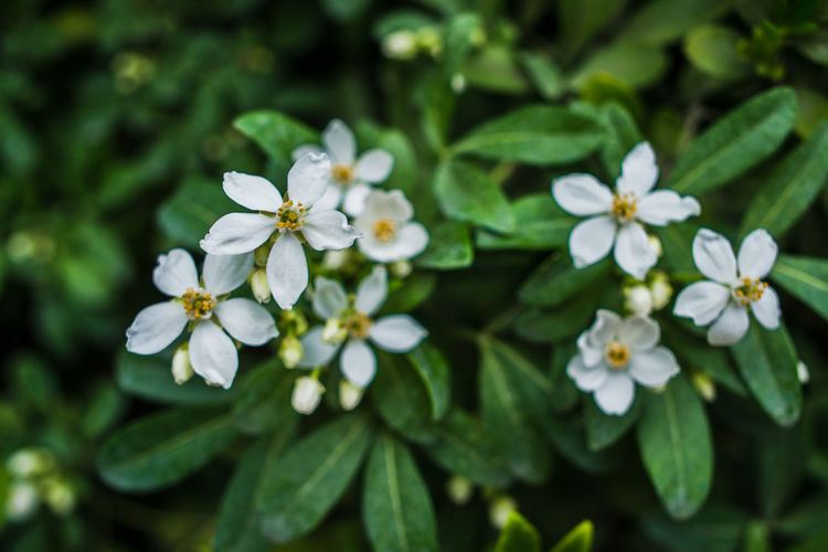 Autumn in Milan Choisya Ternata Mexican Orange Mexican Orange Blossom Beauty In Nature Blooming Blossom Close-up Day Flower Flower Head Fragility Freshness Green Color Growth Leaf Nature No People Outdoors Petal Plant White White Color