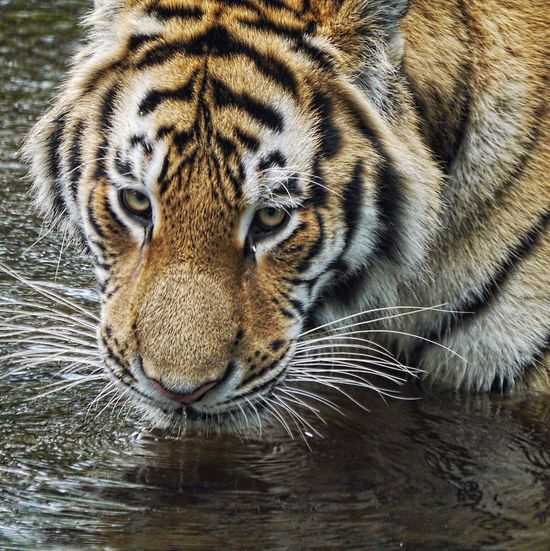 Tiger Amur Tiger Animals Big Cat Eyes Eye4photography  From My Point Of View Highland Wildlife Park by Kincraig Scotland