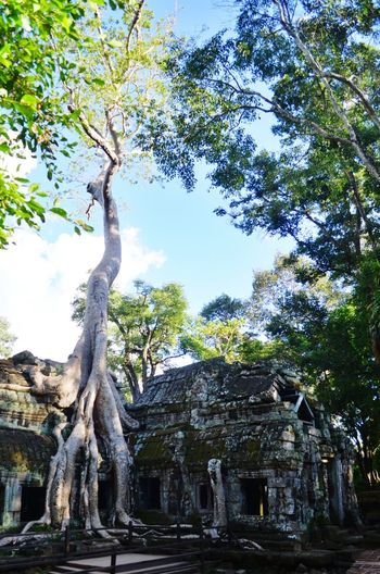 Temples being engulfed by the forest Ta Prohm Angkor Wat Cambodia