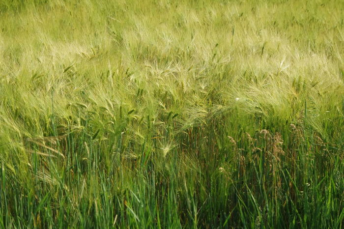 Wheat Fields Backgrounds Field Grass Grassy Green Green Color Landscape Nature Nature Outdoors Plant