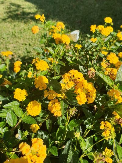 Butterfly - Insect Flower Head Flower Yellow Leaf Petal Close-up Plant Blooming Yellow Color Symbiotic Relationship Animal Antenna Insect