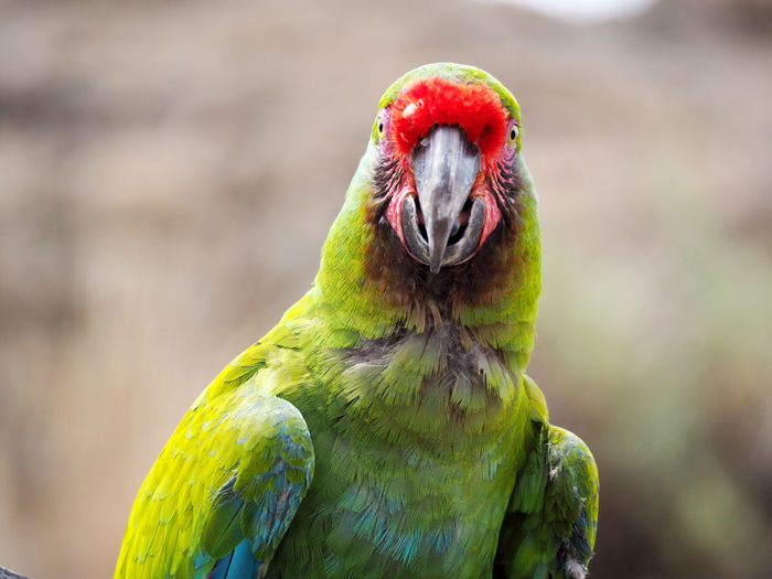Animal Themes Animal Wildlife Animals In The Wild Beak Bird Close-up Day Focus On Foreground Macaw Nature No People One Animal Outdoors Parrot Portrait Red