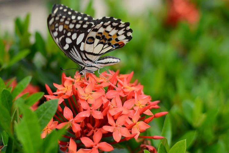 Close-up of butterfly on coral ixoras