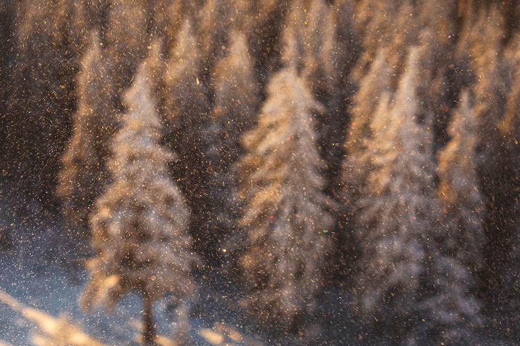 Full frame shot of pine trees in snow