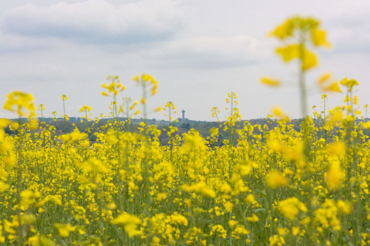 Lendava Slovenia Viewing Platform Agriculture Beauty In Nature Blossom Crop  Cultivated Land Farm Field Flower Growth Nature No People Oilseed Rape Plant Rural Scene Sky Springtime Tower Vibrant Color Vinarium Yellow