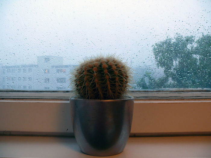 Potted cactus by window during rainy day