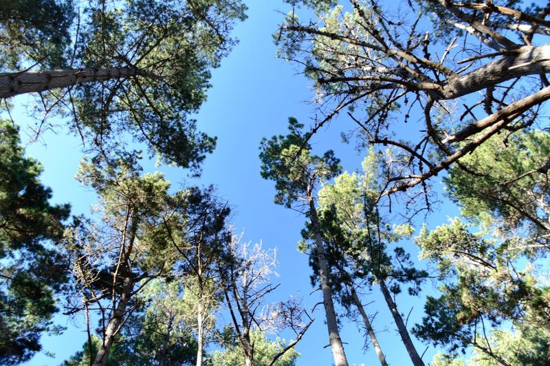 Forest Trees Looking Up Tree Plant Low Angle View Growth Sky Beauty In Nature Branch No People Nature Tranquility Day Blue Sunlight Clear Sky Outdoors Scenics - Nature Freshness
