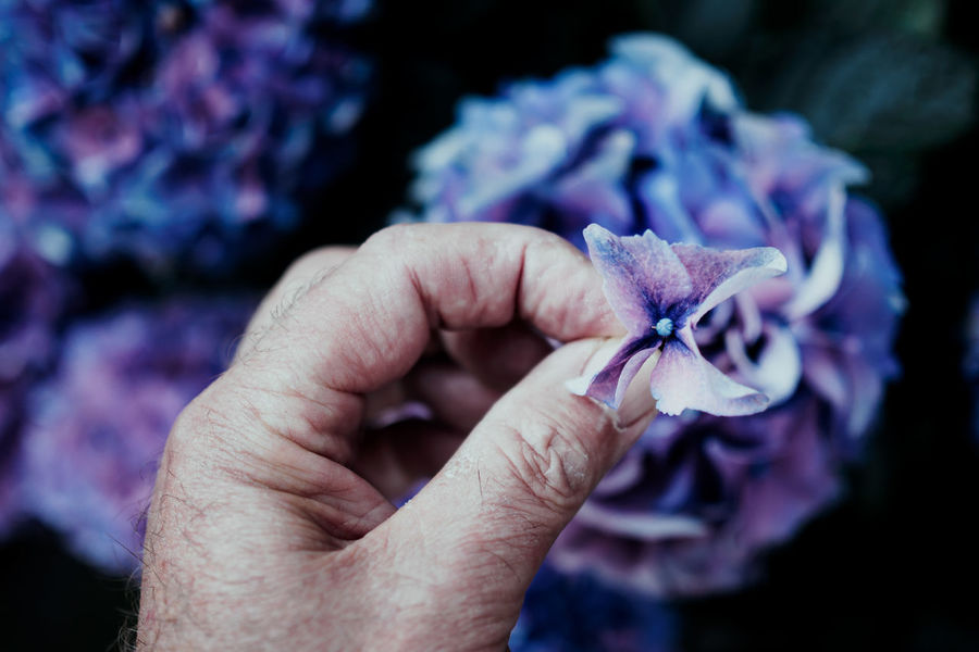From my Garden Beauty In Nature Body Part Close-up Finger Flower Flower Head Flowering Plant Focus On Foreground Fragility Freshness Hand Holding Human Body Part Human Hand Human Limb Nature One Person Petal Plant Purple Real People Vulnerability