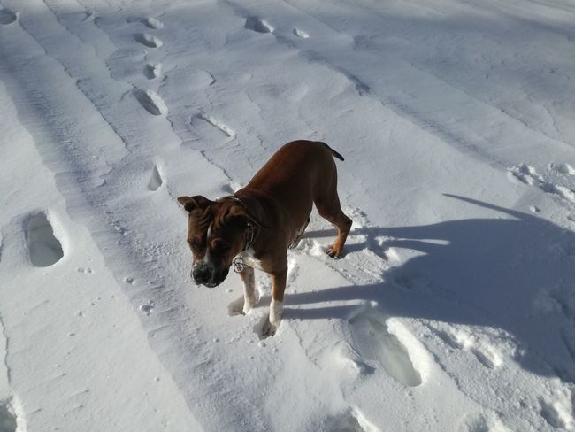 Nature Nature_collection Nature Photography Italy Amstaff Mountain White Snow Pets Winter Dog Shadow FootPrint Animal Track