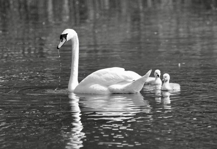 Animal Animal Family Animal Neck Animal Themes Animal Wildlife Animals In The Wild Babyswans Beauty In Nature Bird Cygnet Day Floating On Water Group Of Animals Lake Nature Reflection Swan Swimming Vertebrate Water Water Bird Waterfront Zoology
