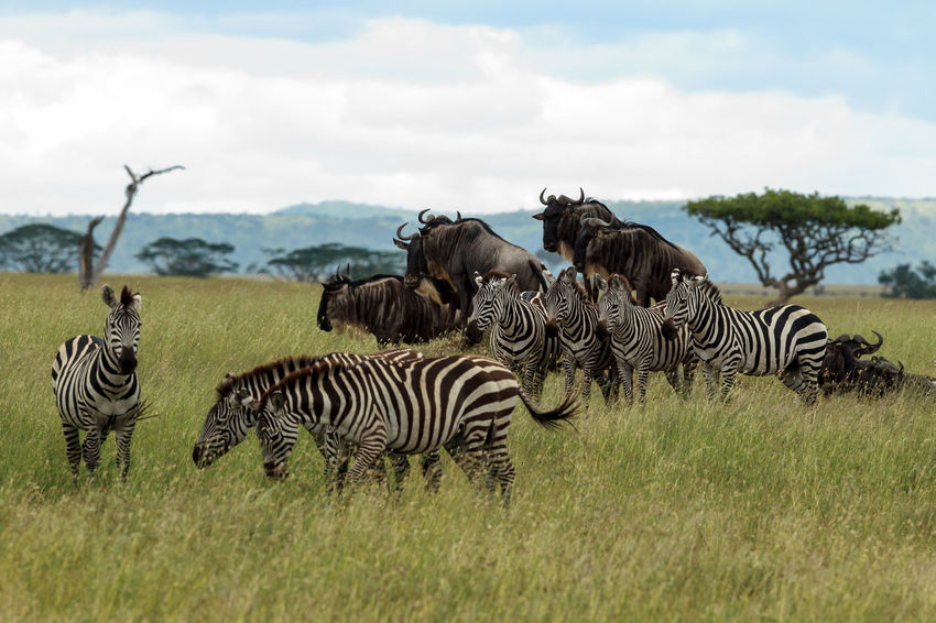 A herd of Wildebeest and Zebras giving an illusion of a animal pyramid. The Wildebeest were keeping watch from an anthill. These two species are often seen together and have a symbiotic relationship. Zebras sense danger and Wildebeest can sense water and green pastures. Each of them make use of these qualities for mutual benefits. Animals In The Wild Beautiful Connochaetes Out Of Africa Plains Zebra Tanzania Africa Animal Animal Pyramid Animal Themes Beauty Beauty In Nature Common Zebra Equus Quagga Great Migration Herd Illusion Safari Safari Animals Serengeti Wildebeest Wildebeest Migration