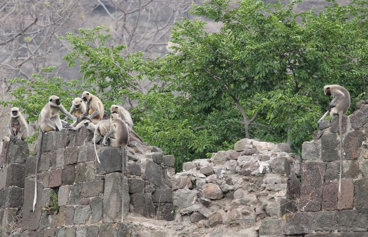 Monkeys quest for breakfast Abundance Ancient Civilization Arid Climate Day Full Frame Growing History Leaf Monkey Business Monkeys Moss No People Outdoors Rock Ruined Stone Stone - Object Stone Wall Textured  Togetherness Wall