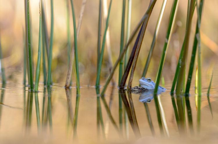 Moor frog, Rana arvalis Frog Nature Amphibian Animal Blue Lake Spring Water