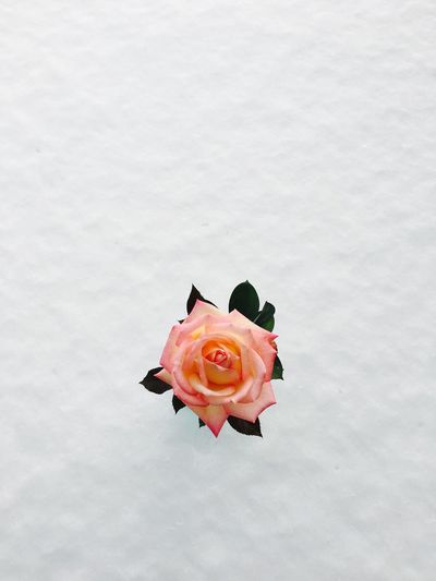 After The Storm After Snowing Day Petal Fragility Nature Flower Head Snow Rose - Flower Freshness Close-up Blooming No People Day White Background Pink Rose🌹 Single Flower Simple Photography Minimalism Simplicity Winter Colors