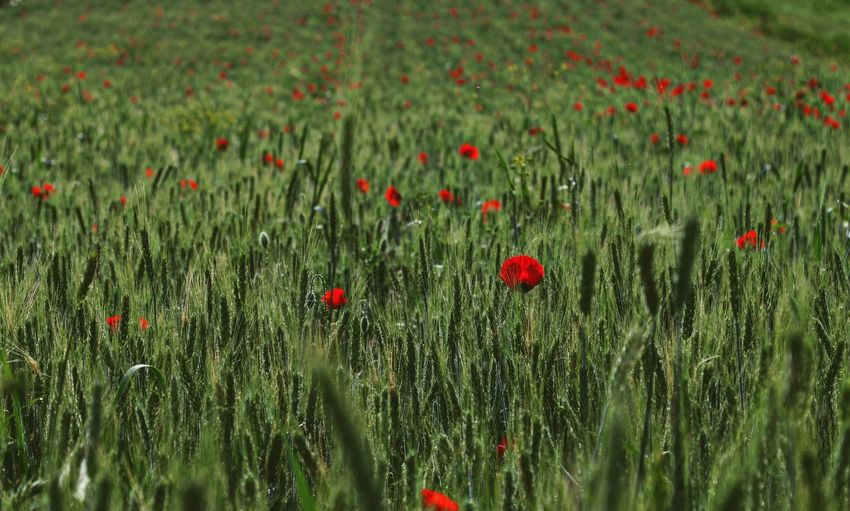 Wheat Field Agriculture Countryside The Great Outdoors Taking Photos Feeling Creative EyeEm Best Shots EyeEm Nature Lover Nature Freshness Growth Relaxing View Sunrise Flower Poppy Flower Head Red Backgrounds Grass Plant Green Color Blooming