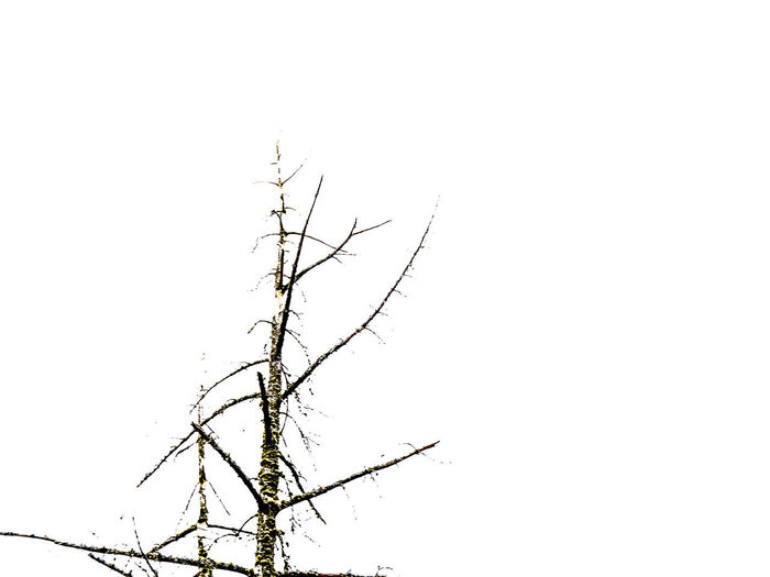 tree top Bare Tree Beauty In Nature Branch Clear Sky Copy Space Cut Out Day Dead Plant Dry Isolated Low Angle View Nature No People Non-urban Scene Outdoors Plant Scenics - Nature Sky Tranquil Scene Tranquility Tree