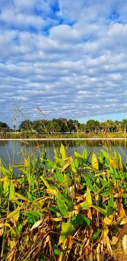 Cirrocumulus Cloud Rural Scene Agriculture Water Field Cereal Plant Sky Cloud - Sky Plant