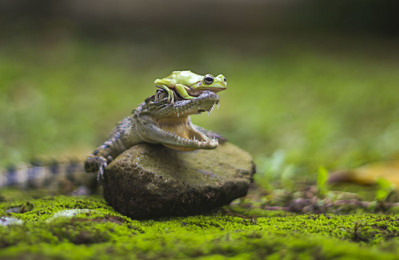 Frog On Crocodile's Head