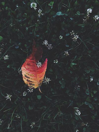 Leaf Red High