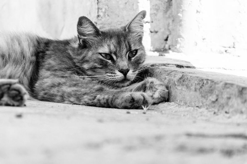 Awake VSCO Animal Themes Close-up Day Domestic Animals Domestic Cat Feline Looking At Camera Lying Down Mammal Nikonphotography No People One Animal Outdoors Pets Portrait Selective Focus Vscofilm Whisker
