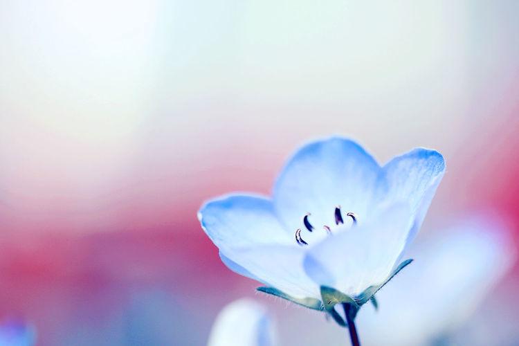 Baby Blue Eyes BabyBlueEyes Blue First Eyeem Photo Flower Nemophila ネモフィラ