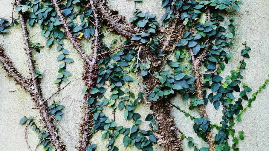 Green Vines On Concrete Wall