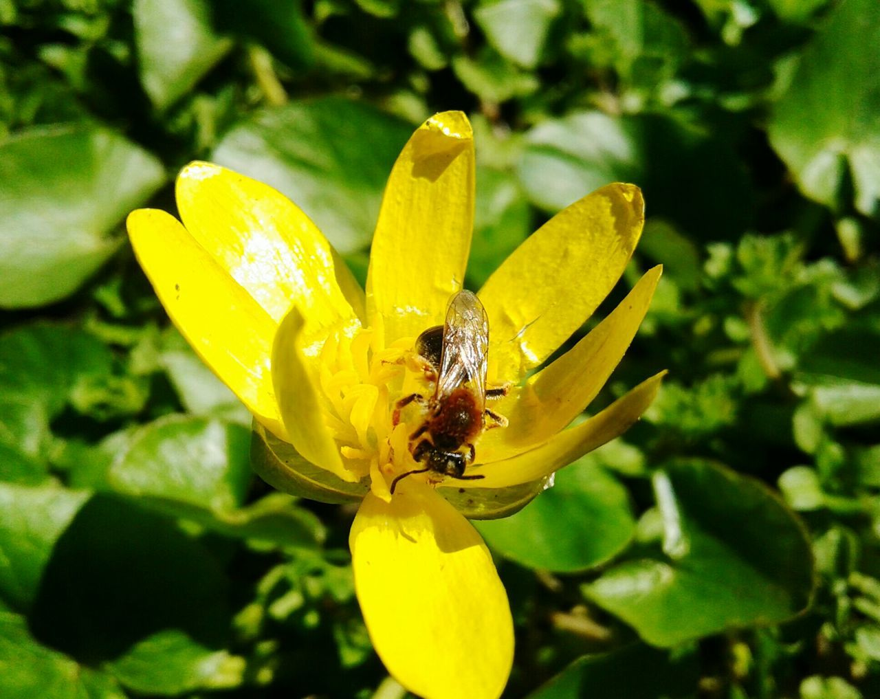 flower, one animal, yellow, insect, petal, animal themes, nature, growth, animals in the wild, plant, beauty in nature, fragility, outdoors, flower head, day, no people, close-up, bee, freshness, animal wildlife, leaf, pollination